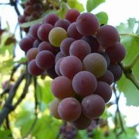 Сухое вино домашнего приготовления