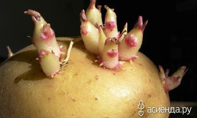 Картофель посевной: секреты заготовки и хранения