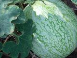 Тыква голосемянная: описание, сорта, выращивнаие