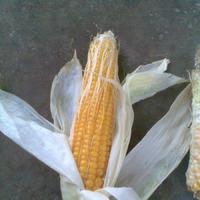 Кто это так нагло съел мою кукурузу?