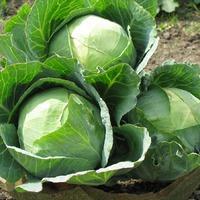 Избавление от мух на овощах