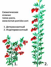 Статья для начинающих помидороводов, о типах томатов.