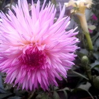 Мои цветы встречают осень