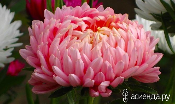 Какие цветы посадить осенью?