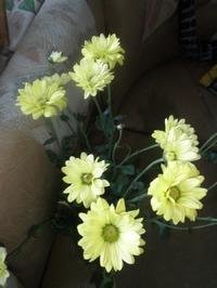 Хризантема из букета. Как вырастить.