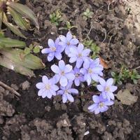 Лесные цветы на участке