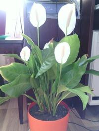 Цветки спатифиллума пахнут!!!