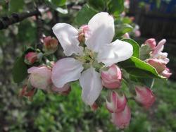 Земляки-огородники, помогите выбрать грушу