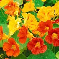 Цветочное великолепие Настурции