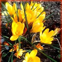 Первоцветы нашего двора