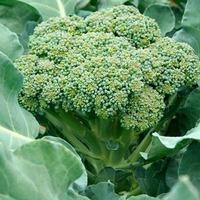 Брокколи против атеросклероза