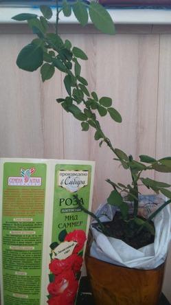 Как сохранить до высадки в грунт плетистые розы?