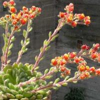 Двухцветные цветки Эхеверии