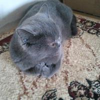 Британские котята, часть 4 )))