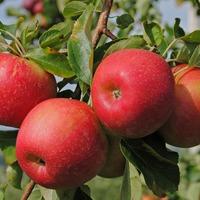 Выбираем сорта яблони домашней