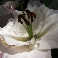 Кёкенхоф. Лилии, гиппеаструмы и амариллисы. Часть 5.