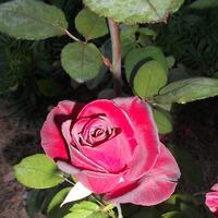 Мои розы.