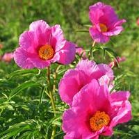 Растения от ревматизма. Часть 2