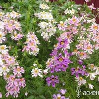 Схизантус – волшебное сочетание красок