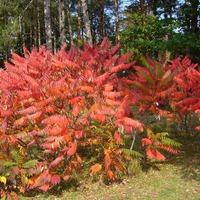 Сумах – яркие краски осени