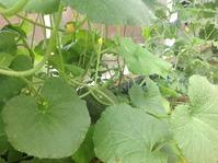Как увеличить урожай дынь в теплице?