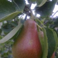 Мой урожай:яблоки, груши и орешки.