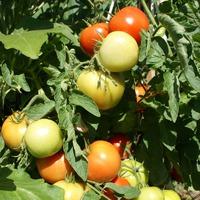 Первые солёные помидоры этого сезона - черри.