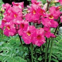 Инкарвиллея – цветение на всё лето