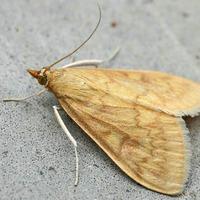 Кукурузный стеблевой мотылек - крылатый вредитель