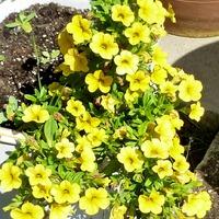 Цветы начала августа в моем саду...