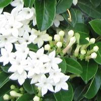 Стефанотис – ароматная лиана