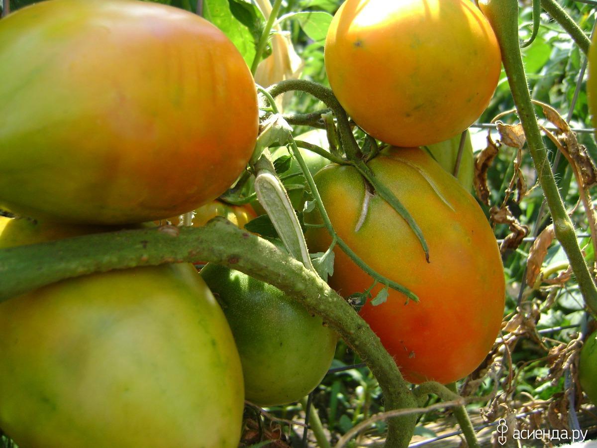 томат кенигсберг отзывы фото частично