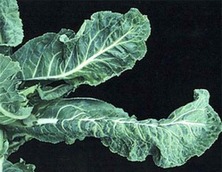 Мозаика цветной капусты