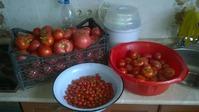 Урожай помидор.