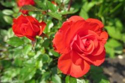 Мой сад в середине августа+Видео-экскурсия