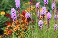 Сад непрерывного цветения. Конец июля.