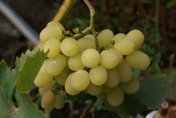 ... лету конец... Собираем виноград.