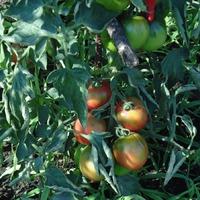 Немного о томатах
