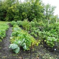 Первая семенная картошка, из Хроники одного огорода 2015