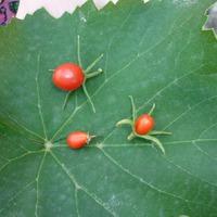 Урожай огромной помидоры)))