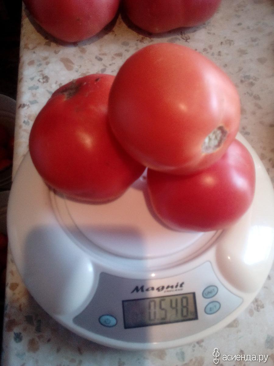 томат сибирское яблоко отзывы фото