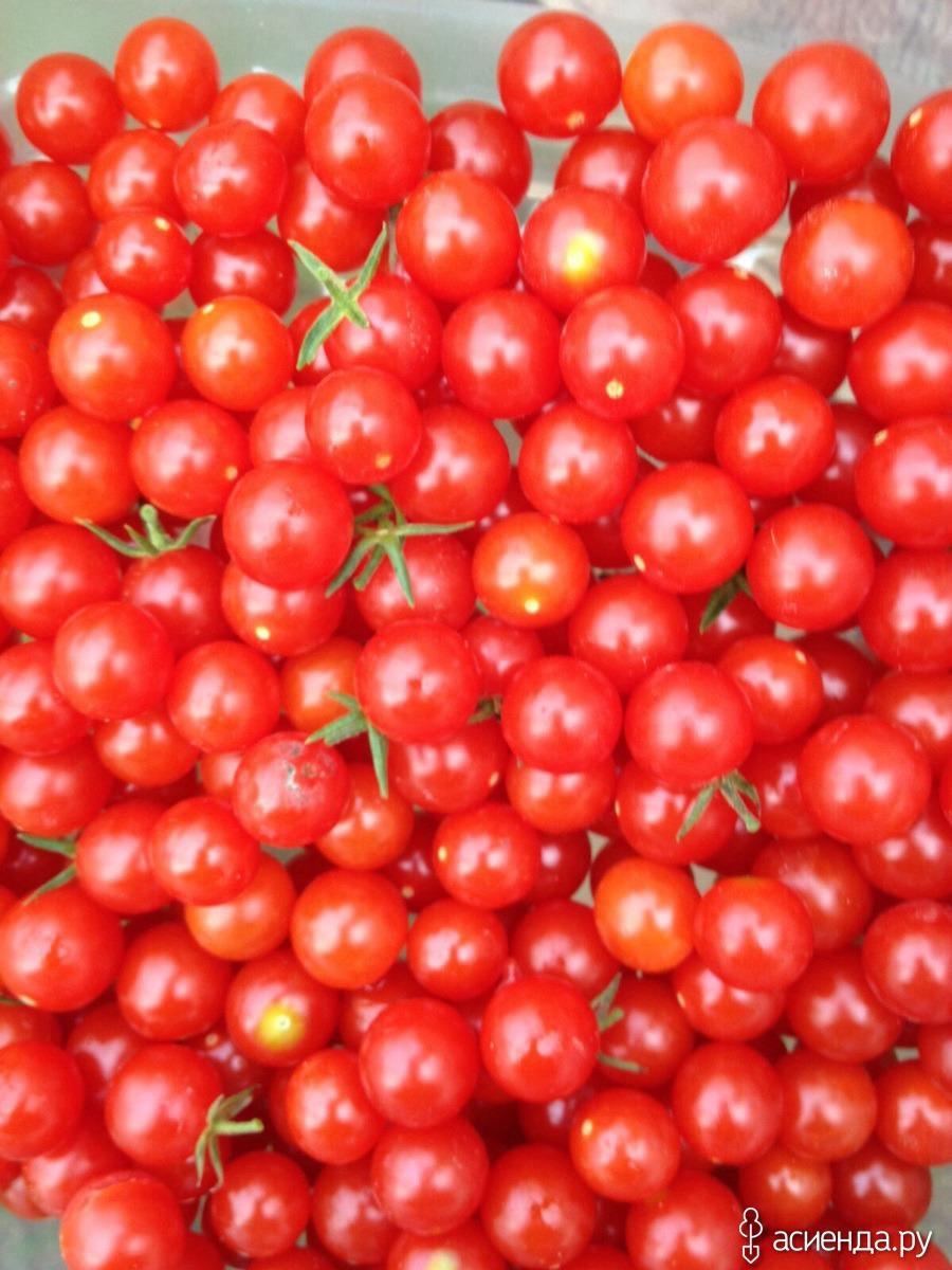 фото томатов дюймовочка ему было шесть