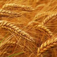 Неприглядная пшеничная муха