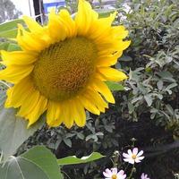 Солнце в огороде