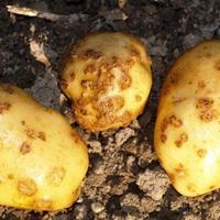 Парша на картофеле.