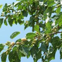 Сладкие ягоды Шелковицы