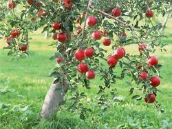 Изящная яблоневая стеклянница