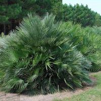 Хамеропс — пальма с веерными листьями