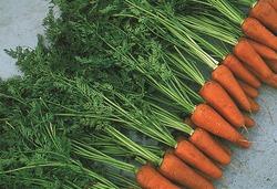 Фузариозная гниль моркови