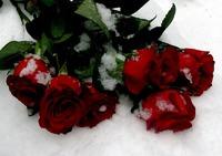 Розы на снегу/ часть 1